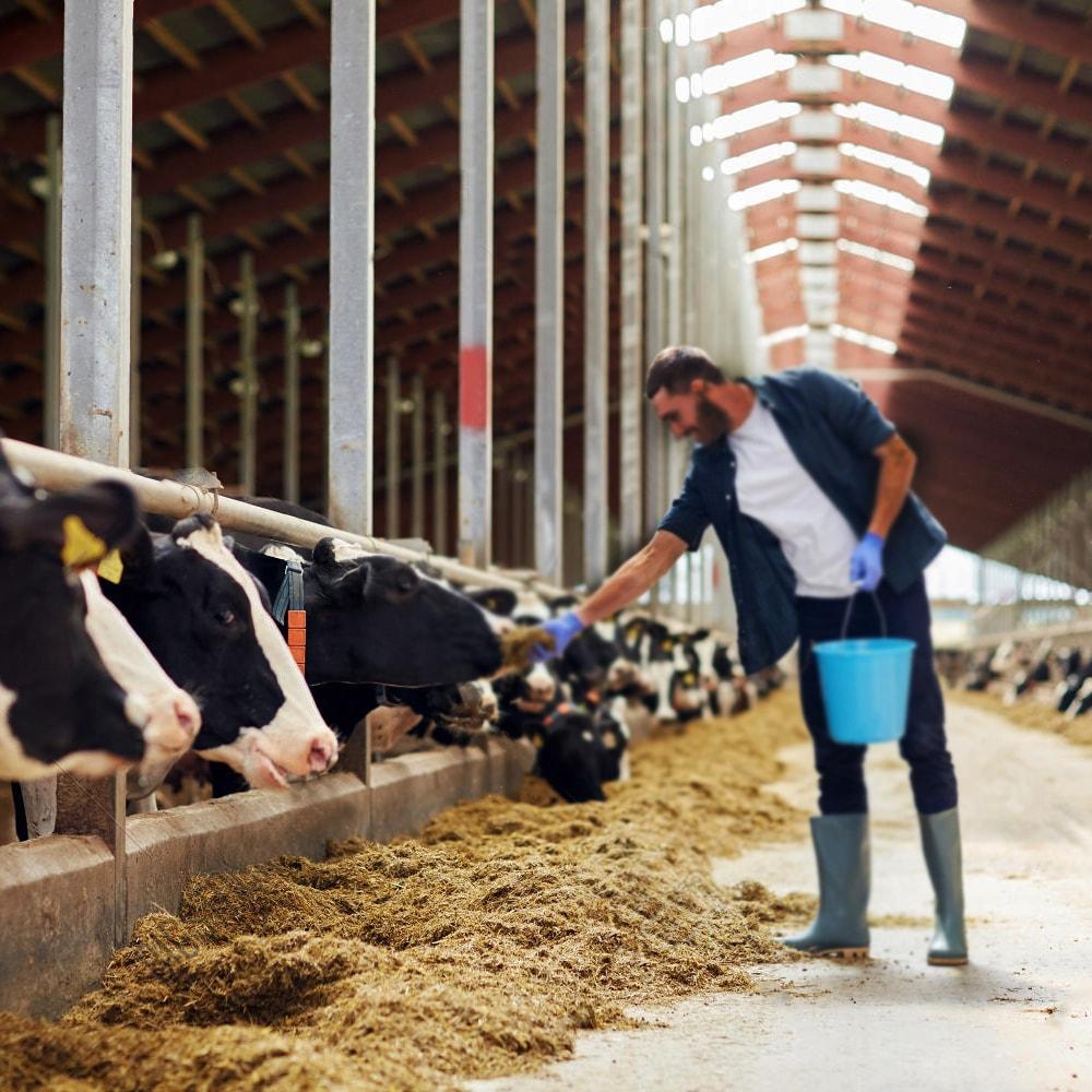 milkmor farm fresh story, gir cow, milkmor